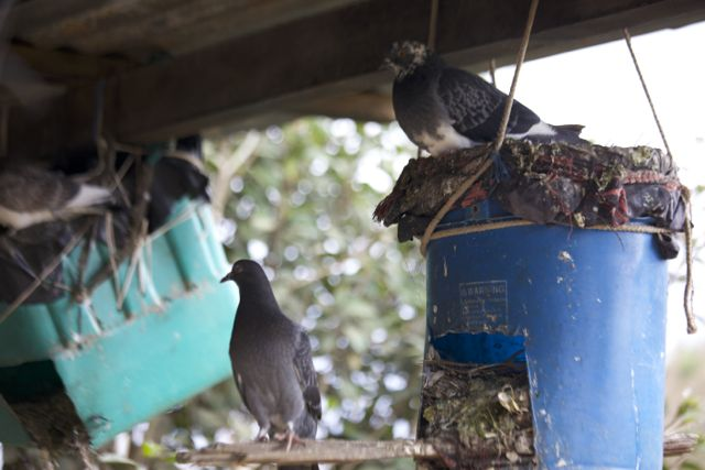 pigeon nests